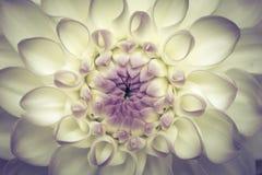 Fondo abstracto del crisantemo Imágenes de archivo libres de regalías