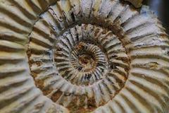 Fondo abstracto del fósil del amonite Fotos de archivo