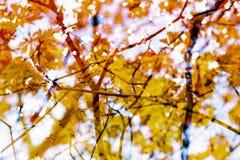 Fondo abstracto del otoño Ramas, hojas Amarillo rojo, anaranjado Imagen de archivo libre de regalías