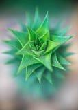 Fondo abstracto - fondo suave del cactus del extracto del foco Foto de archivo libre de regalías
