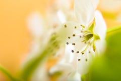 Fondo abstracto para la pera blanca bl de la falta de definición del concepto del verano de la primavera Fotos de archivo