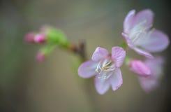 Fondo abstracto - rosa borroso foco suave de Sukura, adornado con rosa Foto de archivo