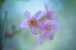 Fondo abstracto - rosa borroso foco suave de Sukura, adornado con rosa Fotos de archivo