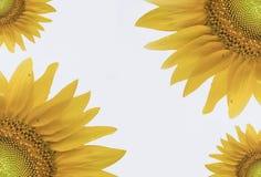 Fondo abstracto y vibrante del girasol Foto de archivo