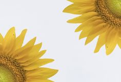 Fondo abstracto y vibrante del girasol Imagenes de archivo