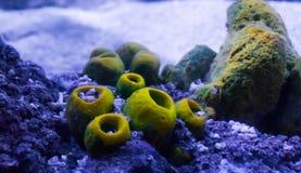 Fondo acquatico subacqueo del paesaggio del mare di un certo corallo che cresce sulle rocce fotografia stock libera da diritti