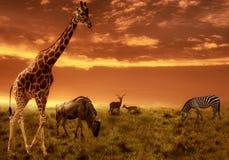 Fondo africano di tramonto con la siluetta degli animali Fotografia Stock