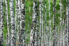 Fondo agradable del bosque del abedul del verano Imagen de archivo libre de regalías