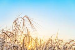 Fondo agricolo con le orecchie mature di segale nei raggi dorati della lampadina bassa del sole di estate Fotografia Stock Libera da Diritti