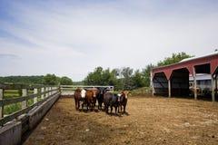 Fondo agricolo del bestiame Immagini Stock Libere da Diritti