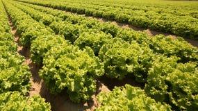 fondo agricolo di un coltivato nei campi enorme con lattuga Fotografie Stock Libere da Diritti