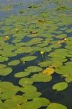 Fondo Agua lilly Imagen de archivo libre de regalías
