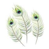 Fondo aislado vector de la pluma del pavo real Fotos de archivo