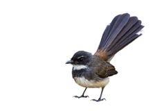 Fondo aislado y blanco del pájaro Foto de archivo libre de regalías