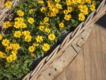 Fondo all'aperto di giardinaggio di estate della pianta gialla dei fiori Fotografia Stock Libera da Diritti