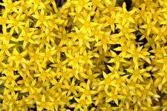 Fondo alpino giallo di struttura dei fiori Fotografie Stock Libere da Diritti