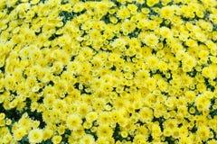 Fondo amarillo de campo de flores del crisantemo Aún vida floral con muchas momias coloridas Hojas verdes y amarillas en un tronc Imágenes de archivo libres de regalías