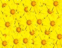 Fondo amarillo de la flor Imagenes de archivo
