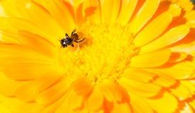 Fondo amarillo de la flor Fotografía de archivo