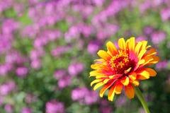 Fondo amarillo de la flor del Zinnia de la llama Imagen de archivo libre de regalías