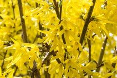 Fondo amarillo de la forsythia Fotografía de archivo