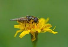 Fondo amarillo de la macro de la flor de los syrphidae del insecto Fotos de archivo libres de regalías