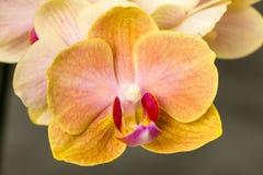 Fondo amarillo de la oscuridad de la orquídea Fotos de archivo libres de regalías
