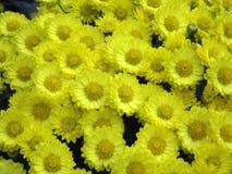 Fondo amarillo de las flores del flor del crisantemo foto de archivo libre de regalías