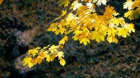 Fondo amarillo de las hojas de arce del otoño almacen de video