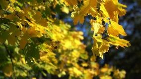Fondo amarillo de las hojas de arce del otoño almacen de metraje de vídeo
