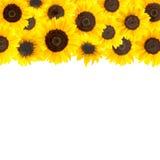 Fondo amarillo de los girasoles Fotos de archivo