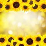 Fondo amarillo de los girasoles Foto de archivo libre de regalías