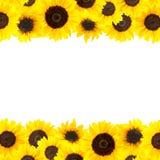 Fondo amarillo de los girasoles Foto de archivo