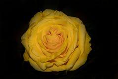 Fondo amarillo de Rose Flower Detail Beautiful Dark Fotos de archivo