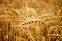 Fondo amarillo del campo de los oídos del trigo Imagen de archivo libre de regalías