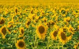 Fondo amarillo del campo del girasol fotos de archivo