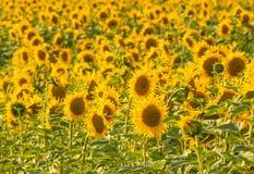 Fondo amarillo del campo del girasol foto de archivo libre de regalías