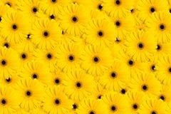 Fondo amarillo del Gerbera Foto de archivo