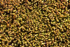 Fondo amarillo del liquen en la roca Foto de archivo libre de regalías