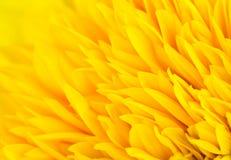 Fondo amarillo del pétalo de la flor Imagen de archivo