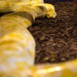 Fondo amarillo del pitón Fotografía de archivo libre de regalías