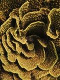 Fondo amarillo del turbinaria Fotos de archivo