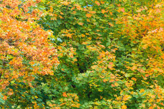 Fondo amarillo-naranja de la naturaleza de las hojas de los árboles de la caída Foto de archivo
