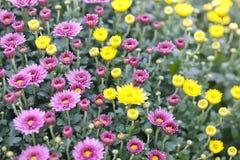 Fondo amarillo rosado violeta de campo de flores del crisantemo Aún vida floral con muchas momias coloridas Foco selectivo Fotografía de archivo