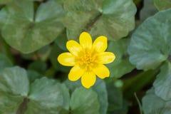 Fondo amarillo salvaje de la flor Foto de archivo libre de regalías