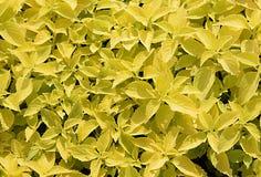 Fondo amarillo y verde del coleo de la hoja Imágenes de archivo libres de regalías