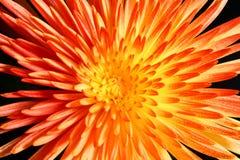 Fondo anaranjado de la flor Fotografía de archivo libre de regalías