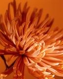 Fondo anaranjado de la flor Fotos de archivo