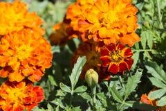 Fondo anaranjado de la flor Imagenes de archivo