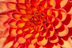 Fondo anaranjado de la macro de la dalia Fotografía de archivo